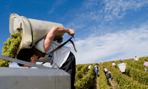 Working at the Grape Harvest in France